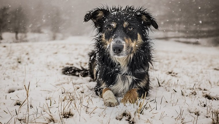 A fully wet tricolor border collie playing in the snow