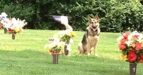 German Shepherd, cemetery's guardian angel, reunites with his worried family