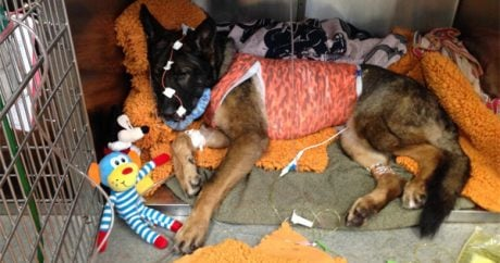 Hero police dog survives shot to the face while catching suspect