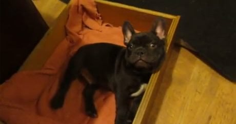 French Bulldog doesn't want to nap