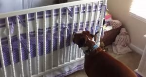 Boxer reacts to a crying infant