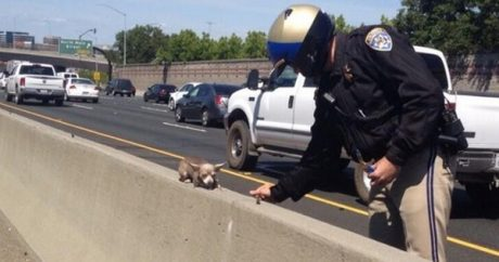 CHP saves Chihuahua stranded on highway median