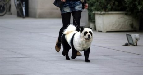 """Latest canine trend in China: """"Panda Dogs"""""""