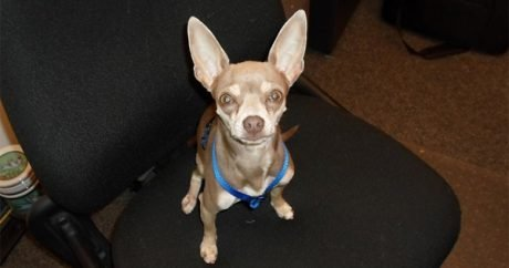 Chihuahua rescued from busy freeway reunited with worried family