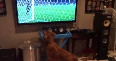 Dog watches the World Cup on TV