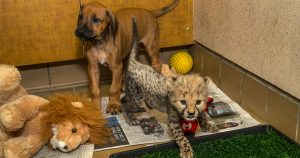 Ridgeback pup finds best friend in cheetah cub