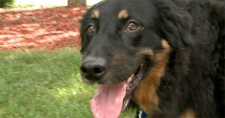 Dog coughs up the truth about owner's missing wedding ring