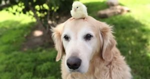 Dog loves the chicks