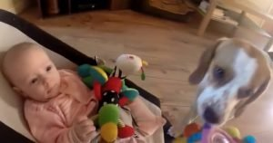 Dog steals baby's toy, but apolgizes in a great way