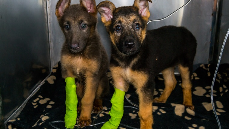 german sheperd puppies with parvovirosis in the cage at the veterinary clinic