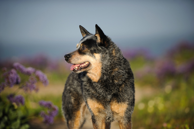 The Australian Cattle Dog is one breed that is prone to blindness and deafness. (Picture Credit: Getty Images)