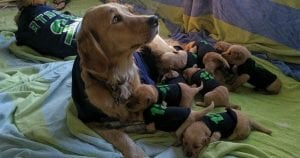 Retriever shows team spirit with her pups