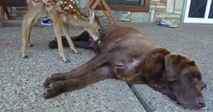 Chocolate Lab nurses motherless fawn
