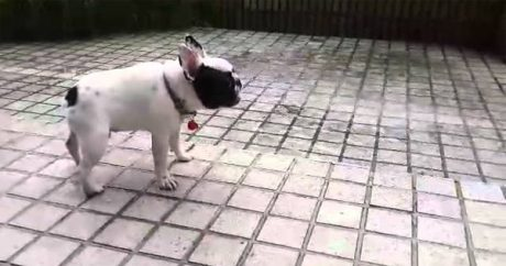 French Bulldog loves the rain