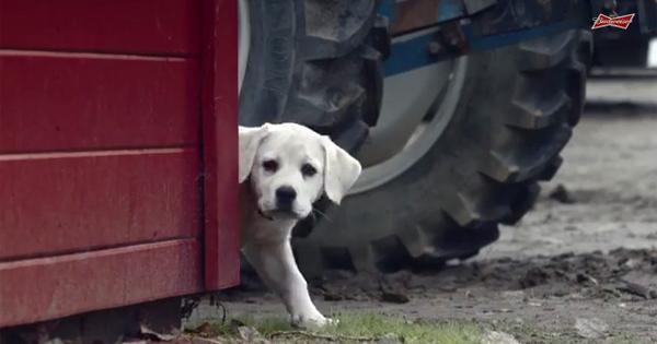 Budweiser Commercial Dog Breed