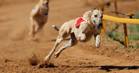Humane groups hope to end Greyhound dog racing