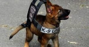 Three Month Old Police Puppy Practices Takedown