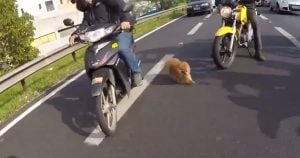 Little dog saved by bikers on a busy highway