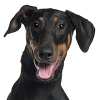 Cropping Out Cruelty: Ear Cropping And Tail Docking Is Useless And Cruel