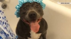 Pit Bull Takes A Shower