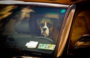 Tennessee Legalizes Smashing Car Windows To Save Dogs