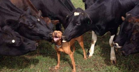 7 Dogs Who Love Cows For Cow Appreciation Day