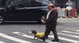 Danny DeVito And Dachshund In A Yellow Dress Is The Best Thing On The Internet Today