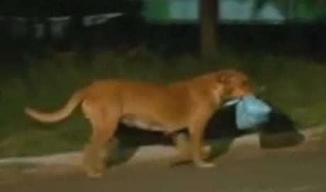 Junkyard Dog Walks Miles Every Night To Get Food For Friends [VIDEO]