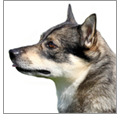 ' ' from the web at 'http://cdn3-www.dogtime.com/assets/uploads/2015/08/square_120_what-is-a-swedish-vallhund1.jpg'