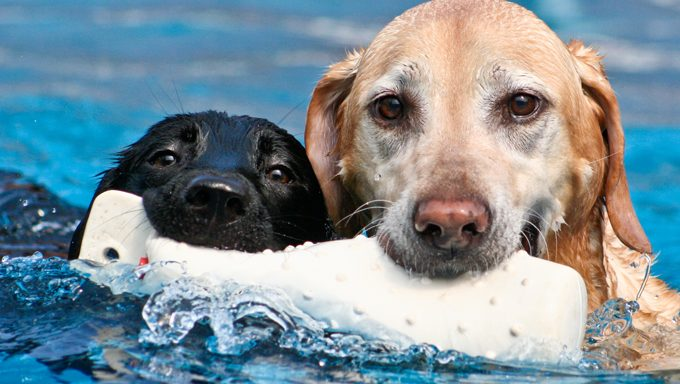 black dog and golden dog share toy in swimming pool