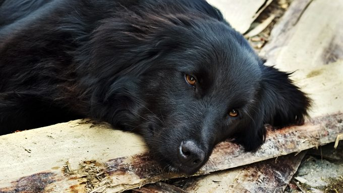 black dog lying on chopped wood