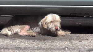 Sick Dog Saved After 7 Months Living Under Cars