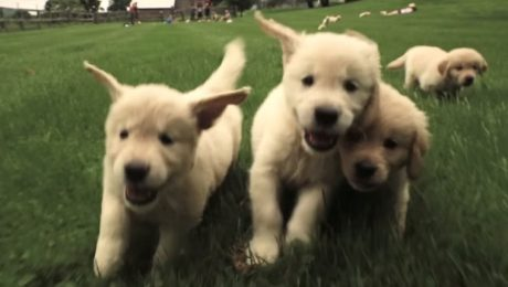 When Golden Retriever Puppies Attack… With Cuteness