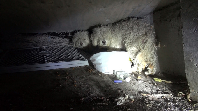poodles-rescued-from-sewer-hope-for-paws