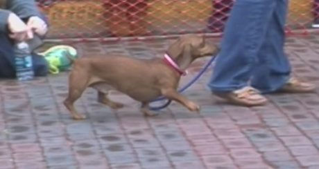 Dirty Dog: Adorable Wiener Dog Gets A Little Too Competitive During Wiener Dog Race [VIDEO]
