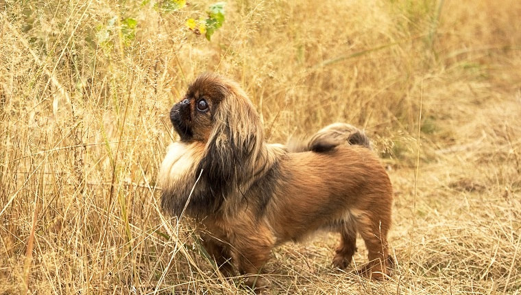 a small, furry dog ​​of Pekingese breed, red color, runs along the green grass. Warm, summer day