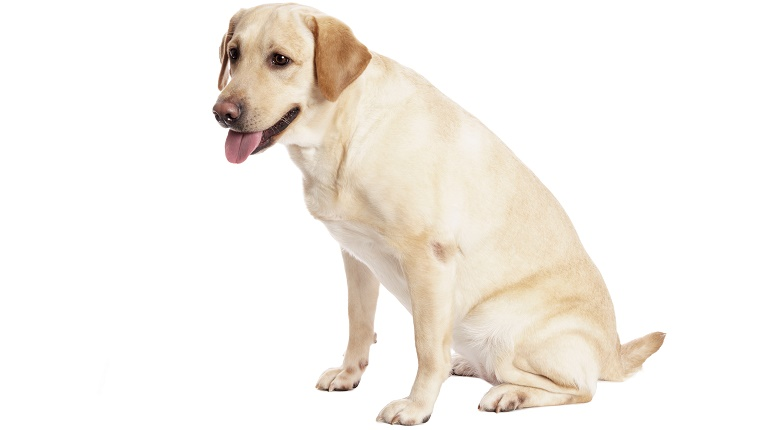 A yellow Labrador Retriever sits in front of a white background with his tongue hanging out.
