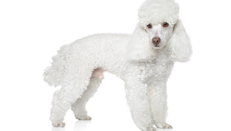 A white Poodle with curly hair stands against a white background.
