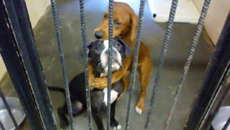 Kala, a Hound mix, hugs Kiera, a Boxer mix behind the bars of a shelter enclosure.