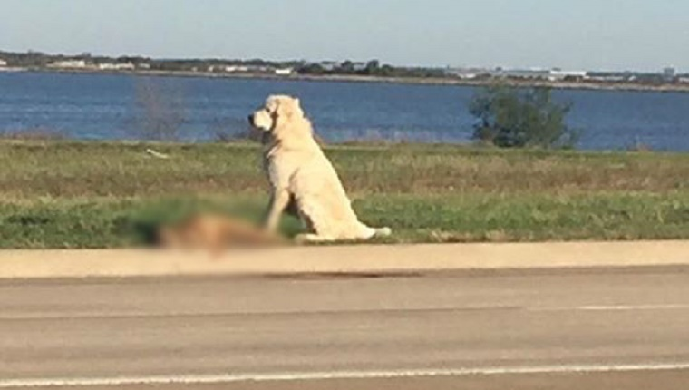 (A large, white dog sits on the side of a road over his companion (image blurred).