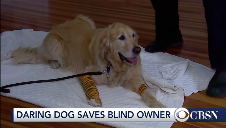 Figo the Golden Retriever lies on a blanket with both front legs in bandages.
