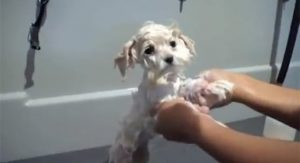 Puppy's First Haircut [VIDEO]
