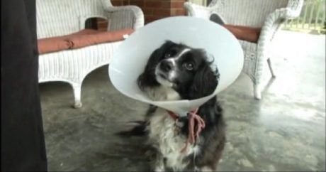 Certified Therapy Dog Escapes And Returns Home 20 Minutes Later Stabbed, Shot And Beaten