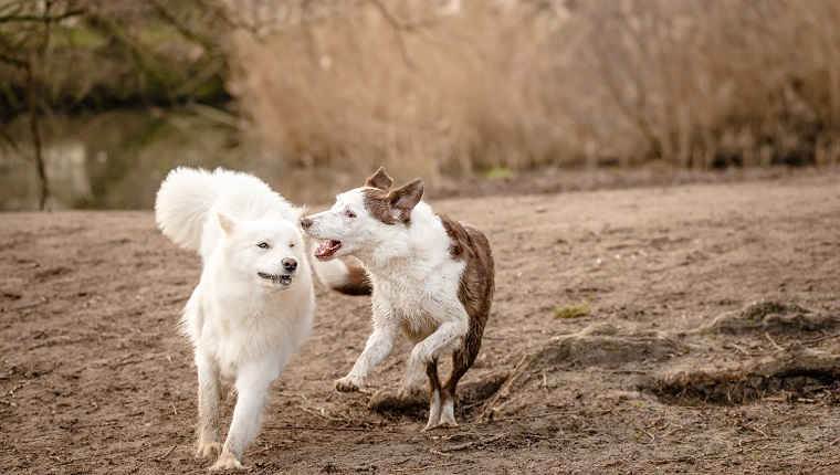 Cute, fluffy white Samoyed dog and a brown and white Border Collie run and play together at the dog park