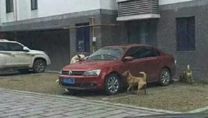 Stray Dogs Take Revenge On Man's Car After He Kicked Their Friend