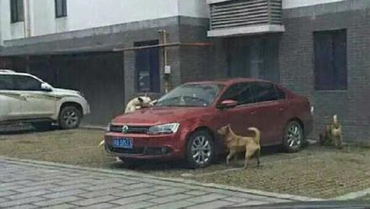 Several stray dogs surround a red car in a parking lot and bit at it.