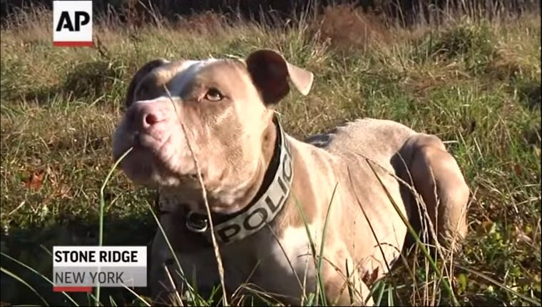 A brown Pit Bull lies in the grass with a Police collar around her neck.