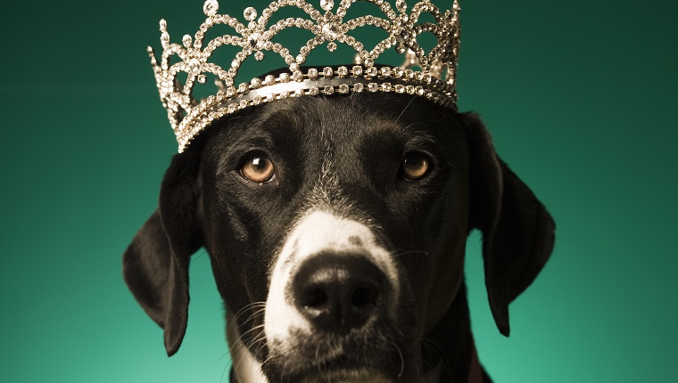 A dog wears a crown in front of a turquoise background.