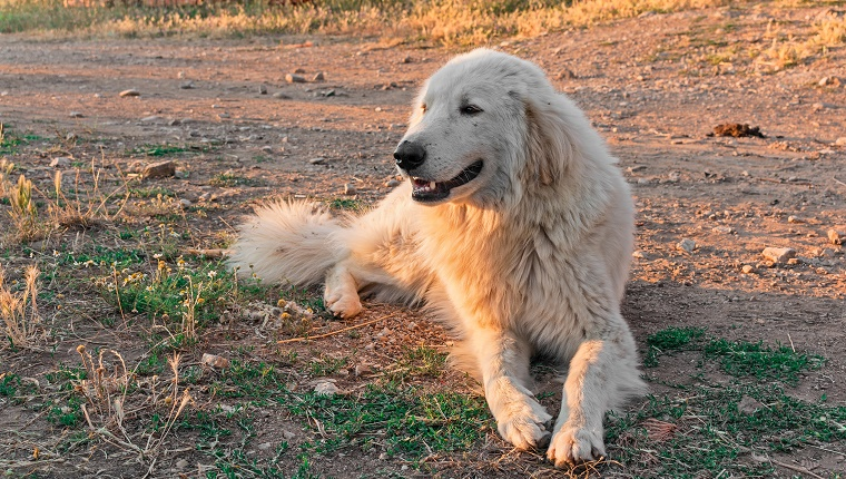 A Maremma Sheepdog lies on a dirt road.