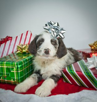 Pets As Gifts: Good Intentions, BAD IDEA